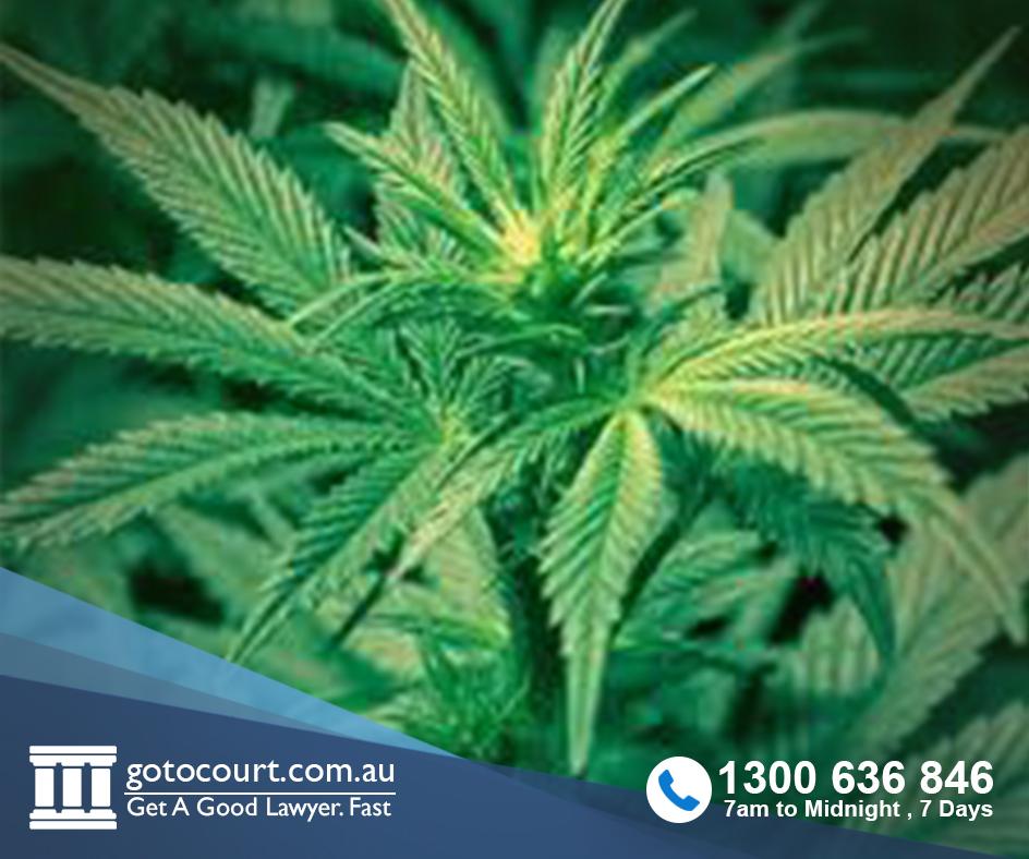 cultivate cannabis
